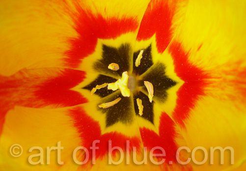 Grusskarte Tulpe Apeldoorns P034
