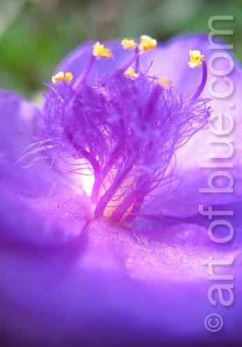 Grusskarte Dreimasterblume P192