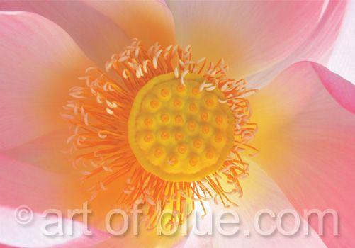 Grusskarte Lotusblüte P082