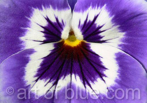Grusskarte Stiefmütterchen Blütenengel P111
