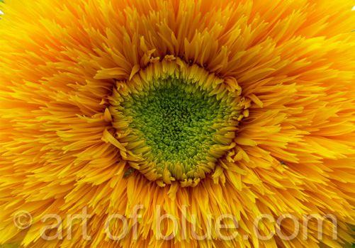 Grusskarte Sonnenblume P091