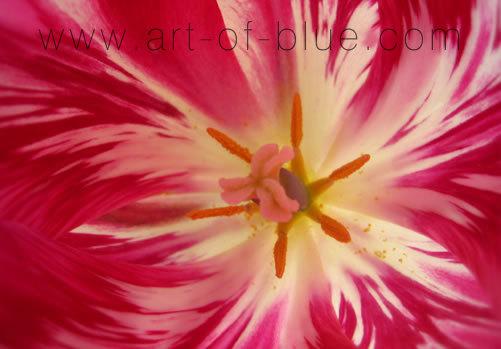 p074_tulipa_rembrandt