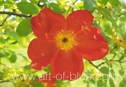 Grusskarte Wildrose P720