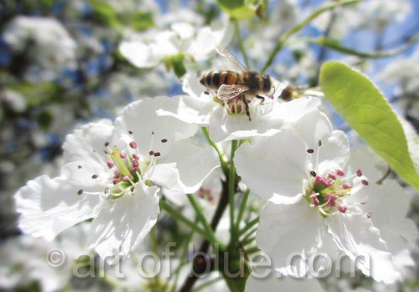 Grusskarte Biene auf Apfelblüte P733