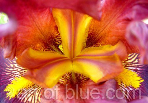 Grusskarte Iris P024