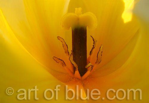 Grusskarte Tulpe P047