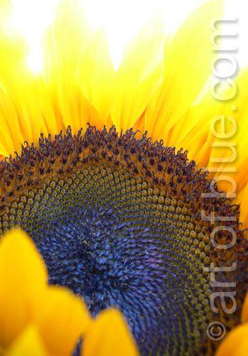 Grusskarte Sonnenblume P162