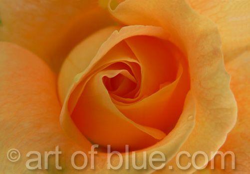 Grusskarte Rose Bonita p083
