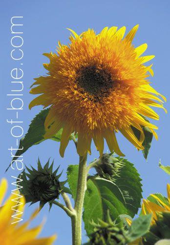 Grusskarte Sonnenblume Teddy P701
