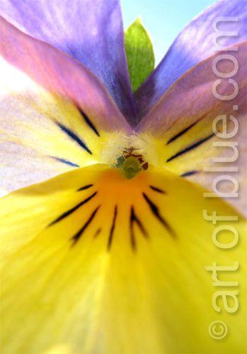 Grusskarte Blütenengel Veilchen P190