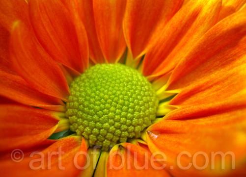 Postkarte Chrysantheme c330