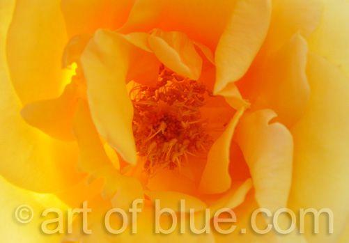 Grusskarte Rose Ghislaine P041