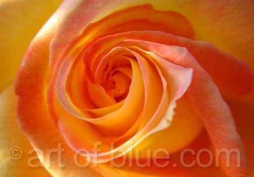"Postkarte Rose ""Orient Express"" c342"