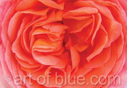 Grußkarte English Rose P011