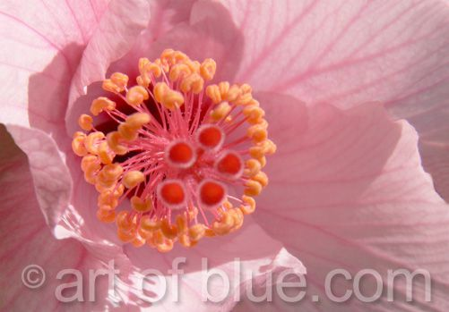 Grusskarte Hibiscus P085