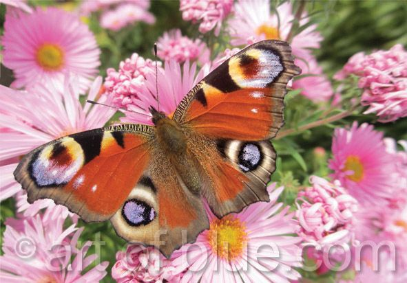 Grußkarte Schmetterling P736