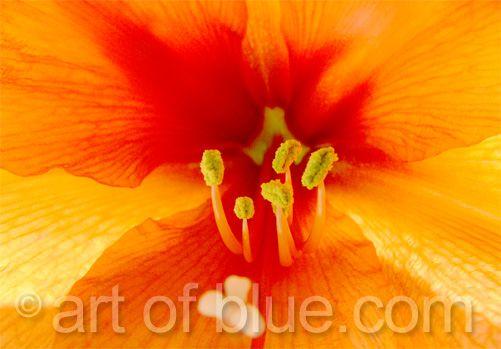 Grusskarte Amaryllis P059