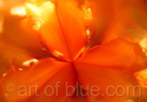Postkarte Iris orange c335