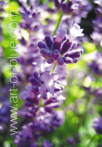 Grußkarte Lavendel P722