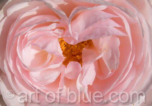 Grusskarte Rose Heritage P105