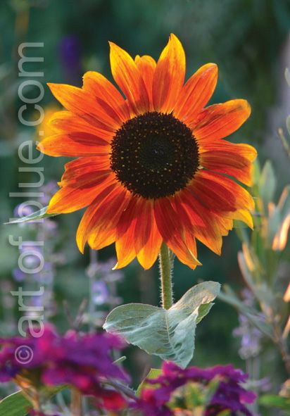Grußkarte Sonnenblume P730