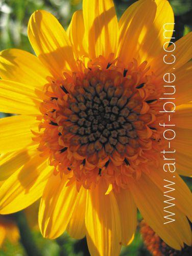 Grusskarte Maxi Sonnenblume p809