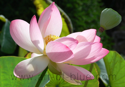 p145_lotus_nelumbo_nucifera