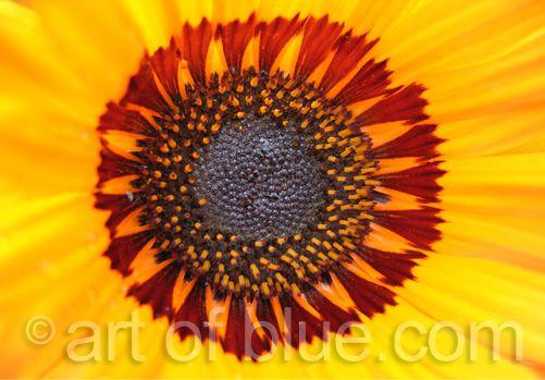 Grusskarte Asteracea P045