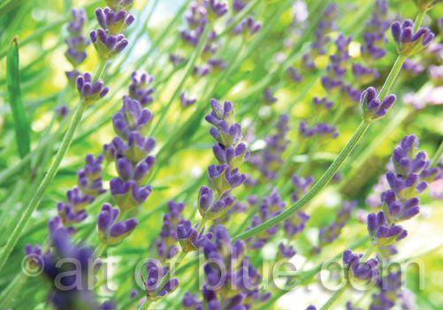Grusskarte Lavendel p277