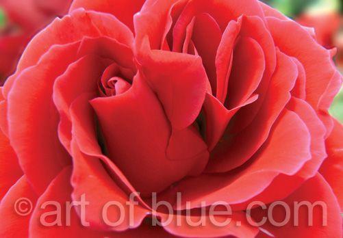 Grusskarte rote Rose p261