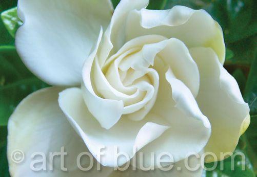 Grusskarte Gardenie p232