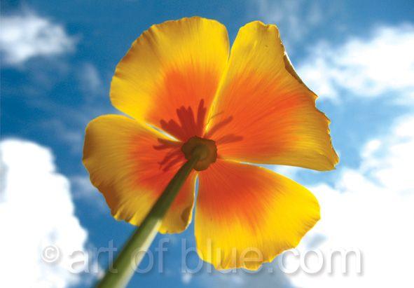 Grusskarte Goldmohn California poppy P734