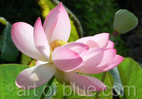 Grusskarte Lotus P145