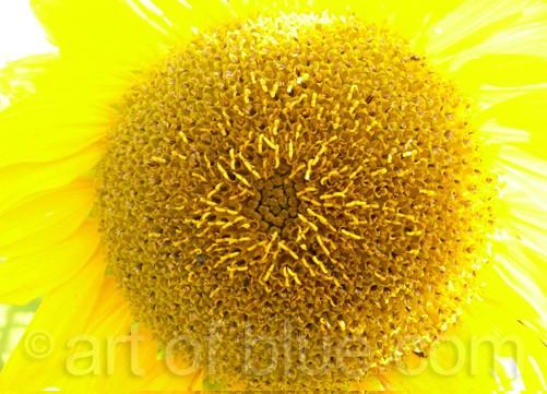 Postkarte Sonnenblume c345
