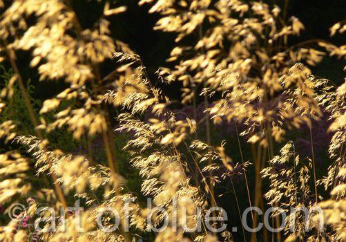 Grusskarte Goldene Gräser P153