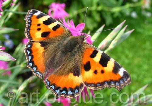 Grusskarte Schmetterling P210