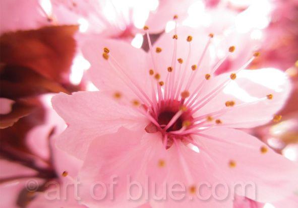 Grußkarte Kirschblüte P735