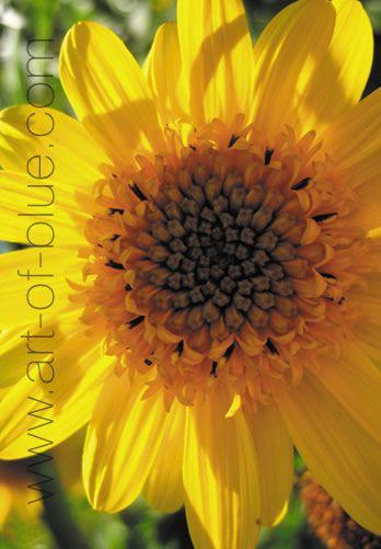 Grusskarte Sonnenblume P710