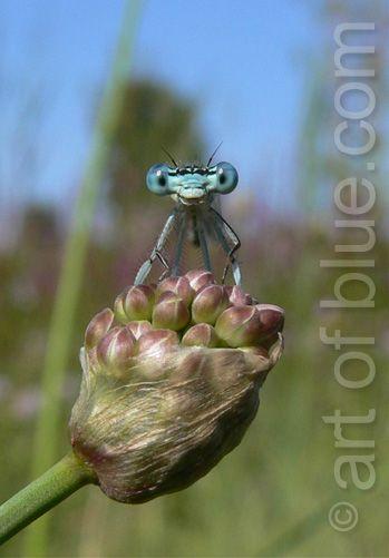 Grusskarte Libelle P208