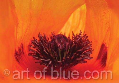 Grusskarte Mohnblüte P002