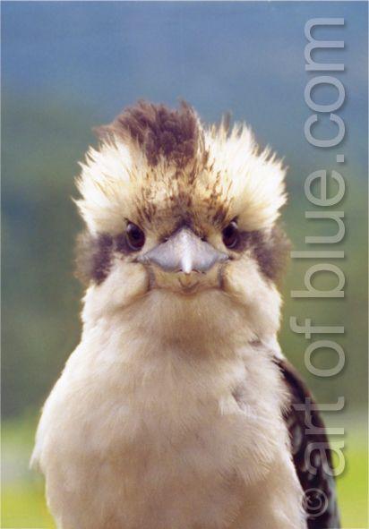 Grußkarte Kookaburra p298