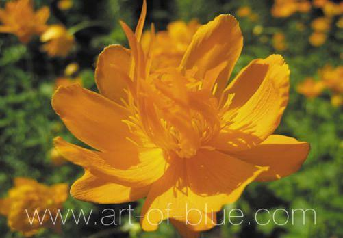 Grusskarte Trollblume P709