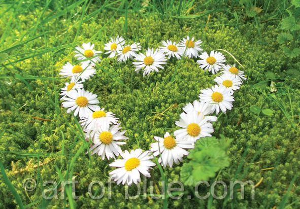 Grusskarte Gänseblümchen Herz P728