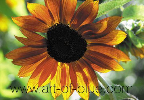 Grusskarte Sonnenblume P704