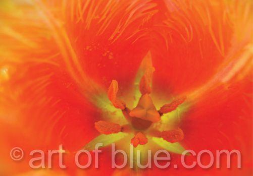 Grusskarte Tulpe Lambada P016