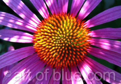 Grusskarte Echinacea P116